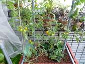 我的魚菜共生:這2顆番茄是2014.11.12 種下的小苗
