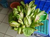 我的魚菜共生:P102015.2.18 收紅蘿蔓圍爐加菜