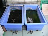 爬蟲:這兩個鯉魚桶是放在頂樓養小班龜的,雖然上方有雨棚擋住,