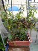 我的魚菜共生:P1這2顆番茄是2014.11.12 種下的小苗,現在幾乎天天有番茄吃^^