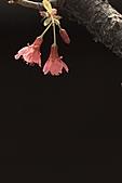 2011 0228       櫻:IMG_8060-1.jpg