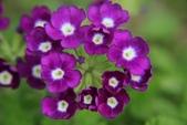 2011 0424 花:IMG_1684.jpg