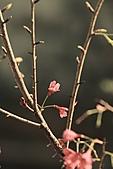 2011 0228       櫻:IMG_8385.jpg