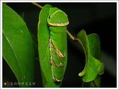黑鳳蝶成長史:黑鳳蝶的幼蟲