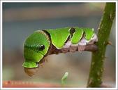 黑鳳蝶成長史:黑鳳蝶的終齡幼蟲