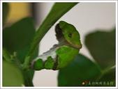 黑鳳蝶成長史:黑鳳蝶的前蛹