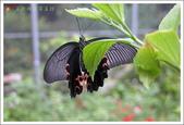 黑鳳蝶成長史:黑鳳蝶