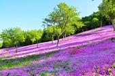 2016北海道露營~滝上公園芝櫻: