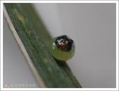 姬蛇目蝶:姬蛇目蝶的卵