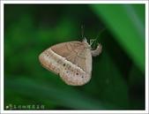 姬蛇目蝶:姬蛇目蝶