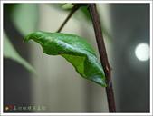 黑鳳蝶成長史:黑鳳蝶綠色型的蛹