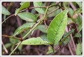 黑鳳蝶成長史:寄主植物:雙面刺