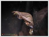 黑鳳蝶成長史:黑鳳蝶褐色型的蛹