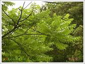 黑鳳蝶成長史:寄主植物:食茱萸