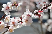 2015東日本賞花之旅~石部櫻:
