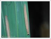 姬蛇目蝶:姬蛇目蝶的幼蟲
