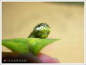 黑鳳蝶成長史:偽裝成鳥糞的黑鳳蝶初齡幼蟲