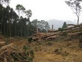 98單騎再戰熊空山:翠綠的杉木林成了大樹墳場