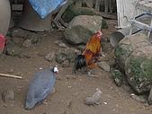 98三角湧之美系列--五十份山:地主圈養的「珠雞」