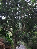 98三角湧之美系列--五十份山:滿樹都是「山蘇」