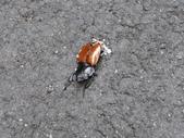 98單騎再戰熊空山:路上陣亡的「紅圓翅鍬形蟲」