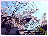 日本岡山富山賞櫻之旅:仁和寺的御室之櫻#1