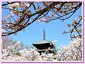 日本岡山富山賞櫻之旅:仁和寺的御室之櫻#4