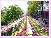 日本岡山富山賞櫻之旅:香川縣高松市四國村博物館園區內的多彩鬱金香