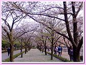 日本岡山富山賞櫻之旅:大阪城內的櫻花步道