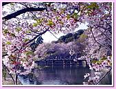 日本岡山富山賞櫻之旅:環繞彥根城的護城河#3
