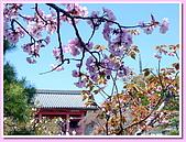 日本岡山富山賞櫻之旅:仁和寺的御室之櫻#2