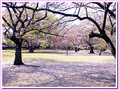 日本岡山富山賞櫻之旅:在栗林公園看到的第一批櫻花樹
