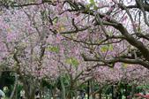 台南市春之花:08羊蹄甲-台南公園.jpg