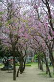 台南市春之花:09羊蹄甲-台南公園.jpg