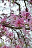 台南市春之花:10羊蹄甲-台南公園.jpg