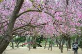 台南市春之花:11羊蹄甲-台南公園.jpg