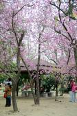 台南市春之花:12羊蹄甲-台南公園.jpg