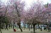 台南市春之花:13羊蹄甲-台南公園.jpg