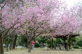 台南市春之花:14羊蹄甲-台南公園.jpg