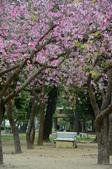 台南市春之花:15羊蹄甲-台南公園.jpg