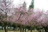 台南市春之花:16羊蹄甲-台南公園.jpg