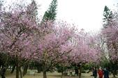 台南市春之花:17羊蹄甲-台南公園.jpg