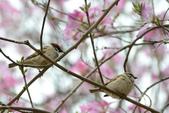 台南市春之花:19羊蹄甲-台南公園.jpg