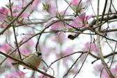 台南市春之花:20羊蹄甲-台南公園.jpg