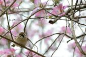 台南市春之花:21羊蹄甲-台南公園.jpg