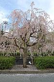 日本東北溫泉賞櫻 2:009山形天童倉津川.jpg