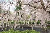 日本東北溫泉賞櫻 2:010山形天童倉津川.jpg