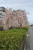 日本東北溫泉賞櫻 2:012山形天童倉津川.jpg