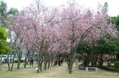 台南市春之花:01羊蹄甲-台南公園.jpg