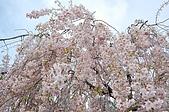 日本東北溫泉賞櫻 2:013山形天童倉津川.jpg